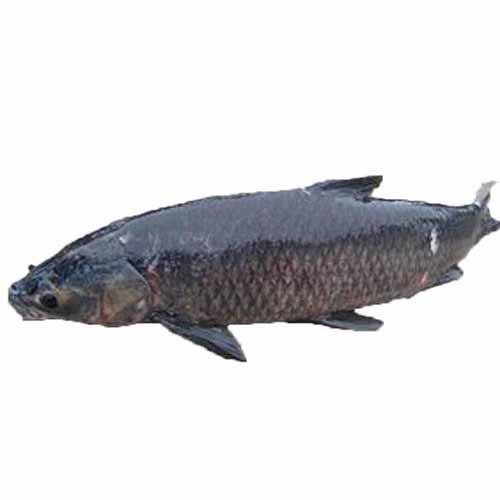 Cá trắm đén